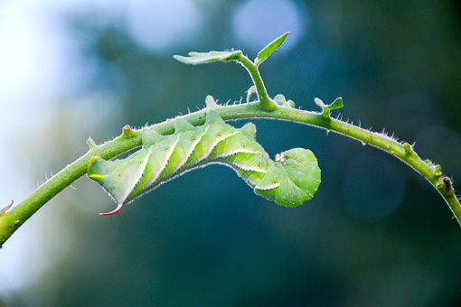 Caterpillar, Tomato, Hornworm, Garden, Insect, Worm