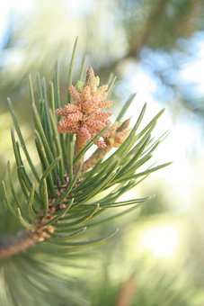 Pine, Cembriodes, Strobilus, Cone, Tree, Pine Needles
