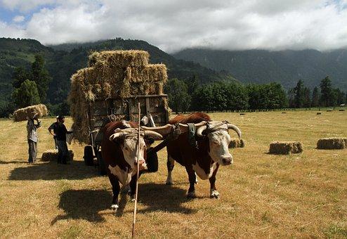 Chile, Chilean, South, Farmer, Agriculture, Farm