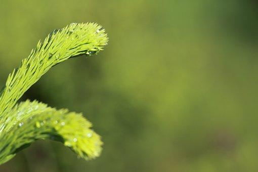 Background, Branch, Close-up, Conifer, Detail, Fir