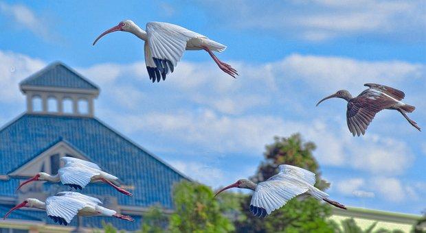 Cranes, Birds, Flying, Grus Canadensis, Florida, Park