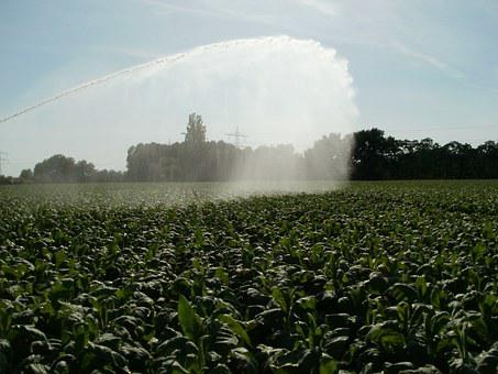 Fields, Tobacco, Pouring, Water, Leaf, Agriculture