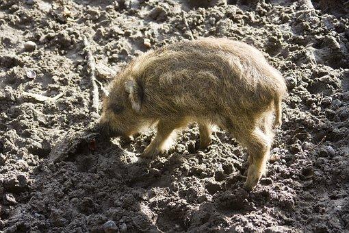 Wild Boar, Launchy, Boar, Wildlife Park, Forestry