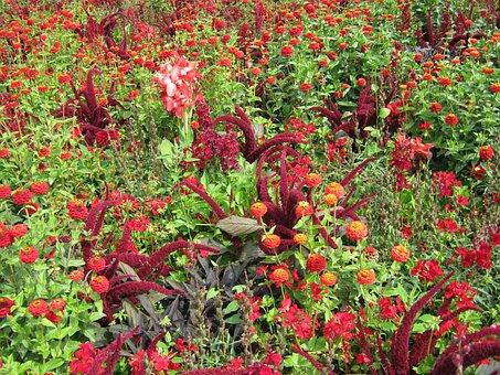 Zinnia, Salvia, Foxtail, Flowers, Blütenmeer, Bed