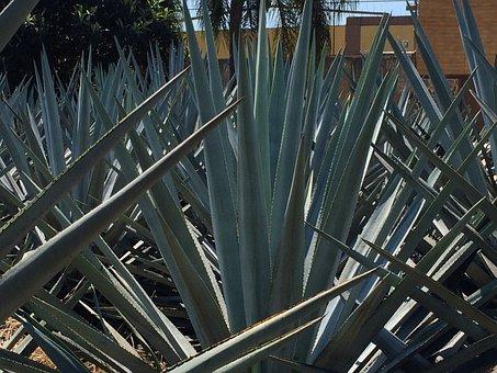 Blue Agave, Garden, Tequila, Mexico