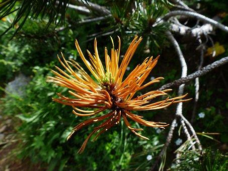 Mountain Pine, Engine, Foliation, Grow, Pinus Mugo