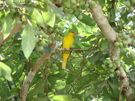 Indian Golden Oriole, Bird, Oriolus Kundoo, Avian