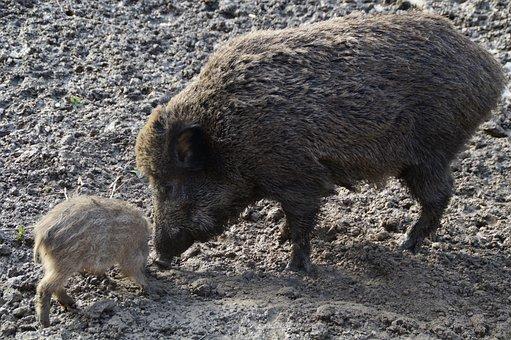 Bache, Wild Boar, Boar, Launchy, Quagmire, Mud, Muddy