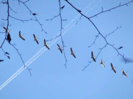 Birds, Crane, Fly, Nature, Animal World, Bird