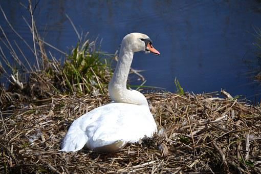 Swan, Nest, Breed, Sweltering Swan, Swan's Nest, Nature