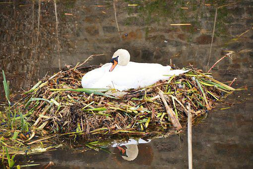 Swan, Nest, Swan's Nest, Sweltering Swan, Nature, Breed