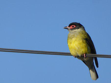 Figbird, Bird, Wire, Oriole, Sphecotheres, Yellow
