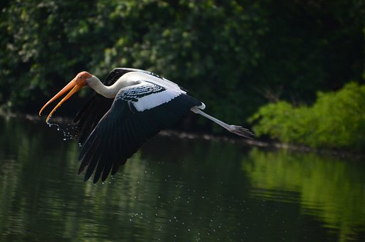 Bird, Crane, Cranes, Flying, Painted Stork, Fly, Wings