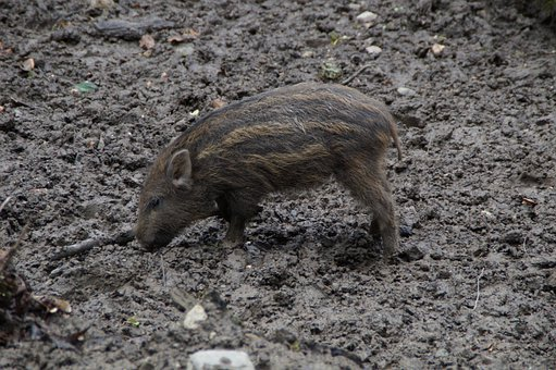 Launchy, Boar, Pig, Young, Child, Piglet, Striped