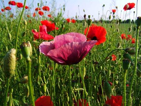 Purple Poppy, Variants, Poppy Field