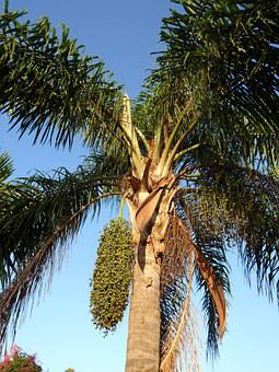 Palm, Seeds, Seed, Nature, Tree, Tropical, Green, Plant