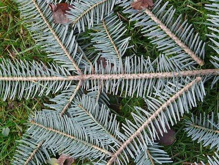 Tannenzweig, Pine Needles, Fir Tree, Silver Fir