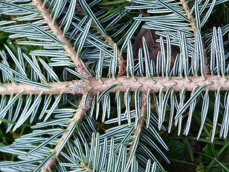 Tannenzweig, Pine Needles, Fir, Silver Fir, White Fir