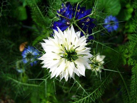 Borzaskata, White Color Variant, Flower Garden