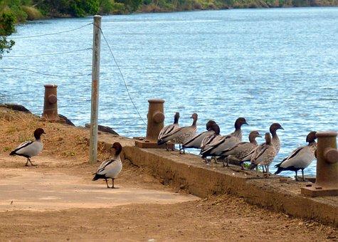 Ducks In A Row, Ducks, Wood Ducks, Waterfowl, Bird, Row