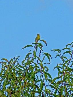 Golden Oriole, Almond Tree, Bird, Yellow, Sky, Zoo