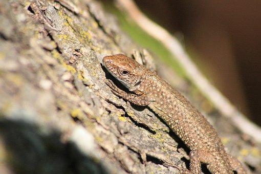Lizard, Animal, Marron, Tree, Macro, Nature, Autumn