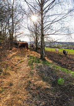 Nature, Cow, Cows, Animal, Meadow, Farm, Landscape