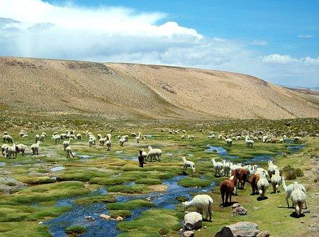 Alpaca, Peru, Flame, Field Alpacas, Field Of Flames