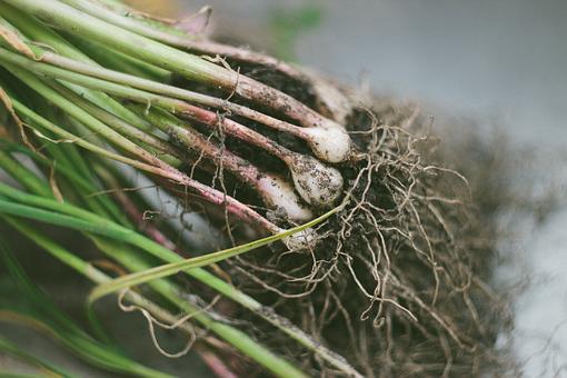 Garden, Gardening, Garlic, Roots