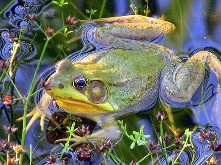 Frog, Pond, Amphibian, Water, Nature, Green, Animal