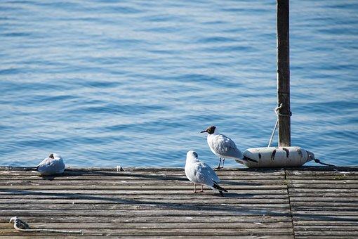 Gull, Bird, Birds, Animal, Lake Constance, Water, Lake