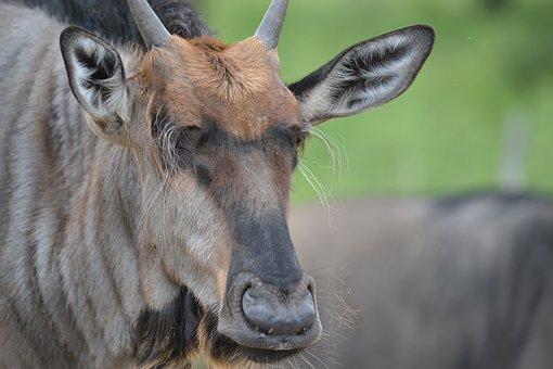 Wildebeest, Wildlife, Nature, Wild, Mammal, Africa