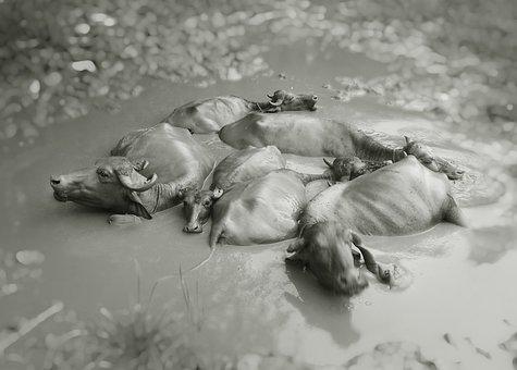 Black And White, Animal, Wet, Wildlife, Mud, Buffalo