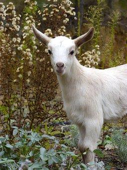 Cabrita, Kid, Goat, Breeding, Newborn