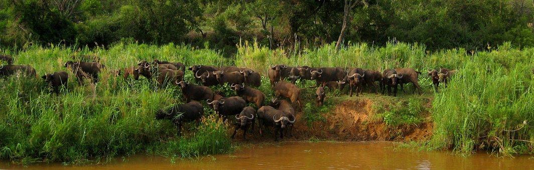 Olifants River, South Africa, Safari, Buffalo