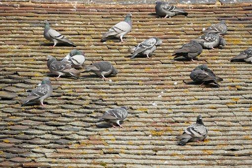 Birds, Pigeons, Nature, Fly, Wildlife, Group, Flock