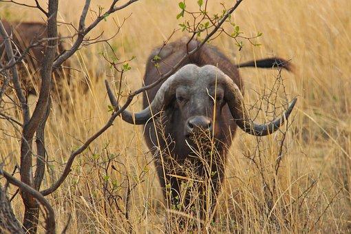 Buffalo, Exciting, Adventure, Safaris, Scenic