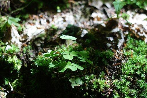 Klee, Sorrel, Shamrocks, Forest Floor, Green, Plant