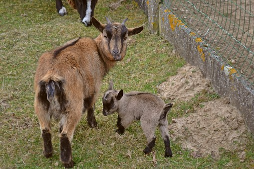 Animals, Goats, Small Kid, Newborn, Spring