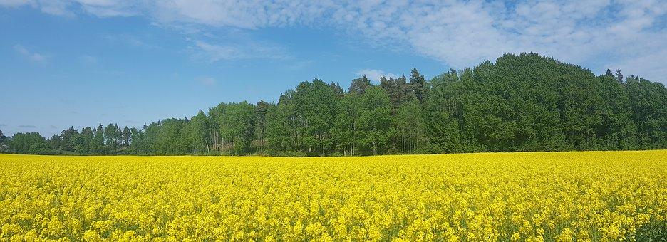 Rape Seed, Field, Sweden, Summer