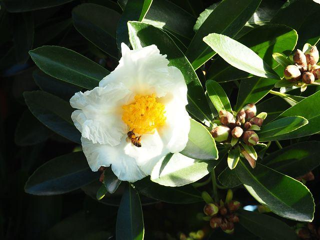 Bee, Flower, Nectar, Wasp, Fried-egg Flower
