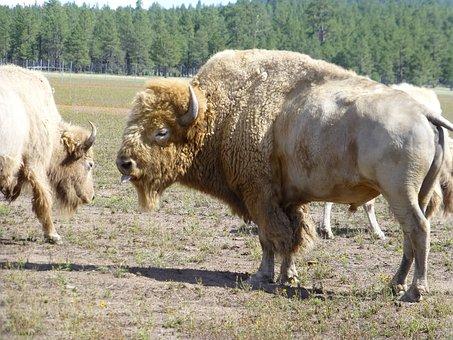 Buffalo, Albino, White, Tongue, Animal, Mammal, Nature