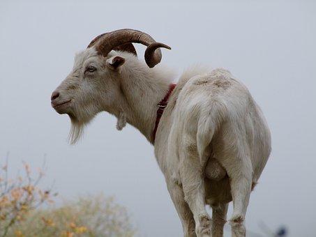Goat, Billy Goat, Testicles, White Goat, Horned