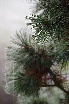 Pine, Ripe, Spider Webs, Dew, Frozen Cobwebs, Autumn