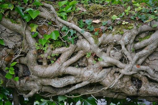 Ivy, Branch, Plant, Creeper, Botany, Pattern, Growth