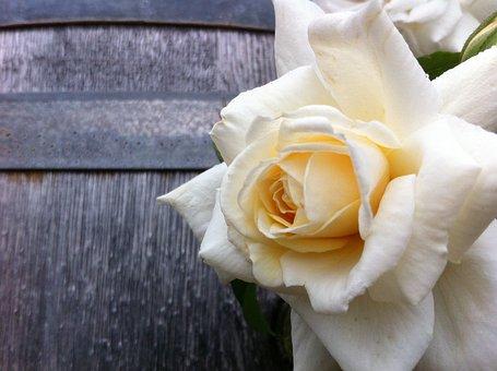Rose, Shrub Rose, Champagne Color, Creeper, Rosa
