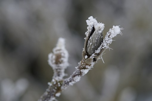 Bud, Ice, Hoarfrost, Covered, Frozen, Winter, Cold
