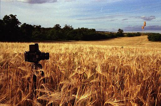 Wheat, Cereal, Field, Agriculture, Crop, Plant, Nature