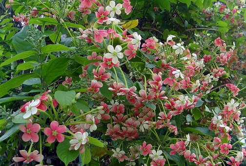 Rangoon Creeper, Burma Creeper, Madhu Malati, Flower