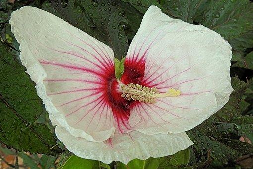 Giant Hibiscus, Raindrop, Hibiscus, Rain, Blossom